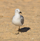 Чайка преследуя песчаный пляж Стоковая Фотография