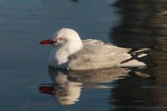 Чайка представленная счет красным цветом на воде Стоковые Изображения RF