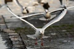 чайка принимает Стоковое Изображение
