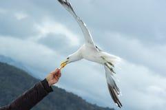 Чайка принимая еду от руки стоковые фото