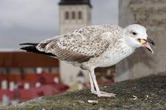 Чайка принимая еду Стоковая Фотография RF