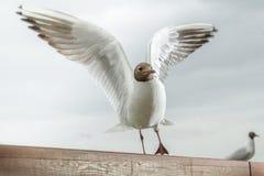 Чайка принимая от деревянной поверхности Стоковое Изображение RF
