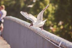 Чайка принимая  Стоковая Фотография