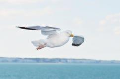 чайка природы полета Стоковое фото RF