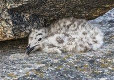 Чайка птенеца большая приполюсная пряча под камнем Стоковое фото RF