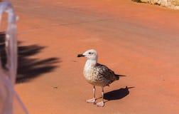 Чайка, птица, предпосылка чайки, орнитология, чайка, чайка на воде стоковые фото