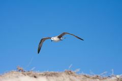 чайка птицы Стоковые Изображения