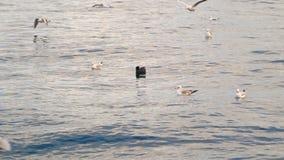 Чайка плавая в море и летая над водой видеоматериал