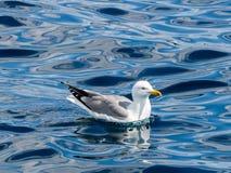 Чайка плавая на воду, Хорватию, Средиземное море стоковое изображение