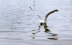 Чайка плавая на озеро Стоковая Фотография RF