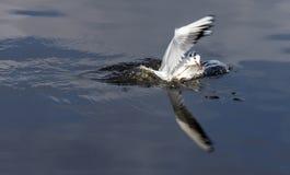 Чайка плоскогубцев рыб Стоковые Изображения