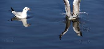 Чайка плоскогубцев рыб Стоковое фото RF