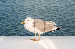 Чайка распологая на корабль Стоковая Фотография