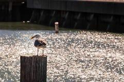 Чайка садить на насест на штендере рядом с гаванью стоковое фото rf