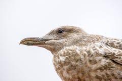 Чайка сельдей, молодая птица, крупный план головы стоковые фото