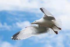 Чайка сельдей, чайка моря, argentatus Larus Стоковое Изображение RF