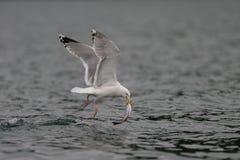 Чайка сельдей с рыбами в своем клюве, Северным морем Стоковая Фотография RF