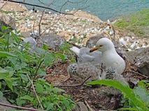 Чайка серого цвета и белых кольц-представленная счет и ее гнездо младенцев с большой колонией в предпосылке стоковые фото