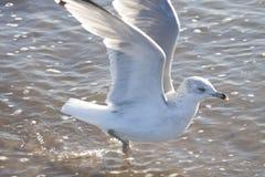 Чайка сельдей на песке на пляже Стоковые Фото