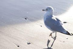 Чайка сельдей на песке на пляже Стоковые Фотографии RF