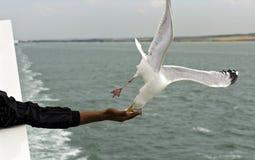 Чайка сельдей snaping в мякишах хлеба полета от руки Стоковые Фото