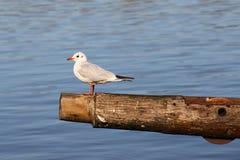 Чайка сидя на деревянной балке Стоковое Изображение RF