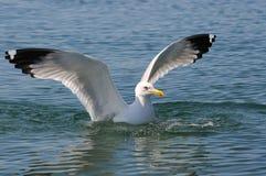 Чайка сидит на воде. Стоковое Изображение