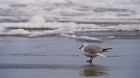 Чайка сидя на замороженном покрытом Лед море сток-видео