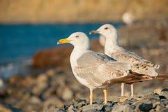 Чайка сидя на камешках около моря Стоковые Изображения