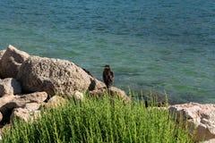 Чайка сидя на камне Стоковые Изображения RF