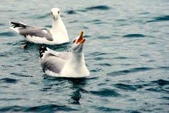 Чайка сидя на поверхности с ртом широким раскрывает Стоковые Фото