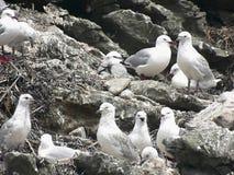 чайка скалы Стоковые Фотографии RF