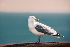 Чайка смотря вне Стоковое фото RF