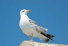 чайка среднеземноморская стоковое изображение rf