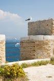 чайка среднеземноморская стоковые изображения rf