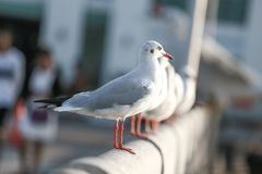 Чайка стоит на мосте на Bangpu Таиланде Стоковые Изображения