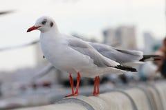 Чайка стоит на рельсе белого цемента моста над морем, Стоковые Изображения RF