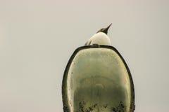 Чайка стоя вверх на свете поляка Стоковое фото RF