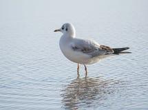 Чайка стоя в море Стоковые Изображения