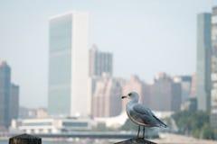 Чайка стоя на загородке Запачканная Организация Объединенных Наций Headquart ООН Стоковая Фотография RF