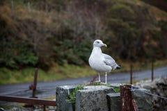 Чайка стоя на загородке Стоковое Фото
