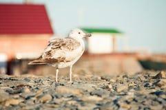 Чайка стоя на камешках Стоковые Фотографии RF