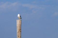 Чайка стоя на палисаде Стоковая Фотография