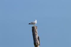 Чайка стоя на палисаде Стоковое Фото