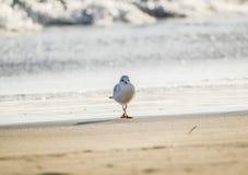 Чайка стоя на пляже песка перед морем Стоковое Изображение RF