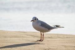 Чайка стоя на пляже песка перед морем Стоковые Изображения RF
