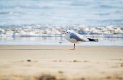 Чайка стоя на пляже песка перед морем Стоковые Фотографии RF