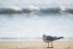 Чайка стоя на пляже песка перед морем Стоковая Фотография RF