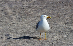 Чайка стоя на пляже Стоковое Фото