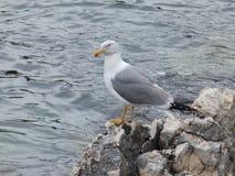 Чайка стоя на скалистом береге побережья Istrian Адриатического моря Стоковое Фото